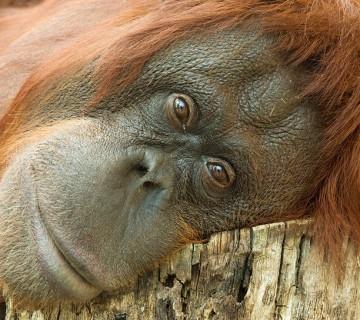 portret orangutana