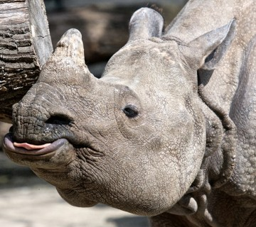 portret nosoroga