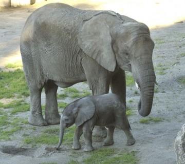 slonji mladič z mamo