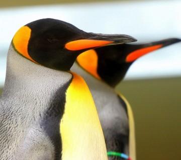cesarska pingvina