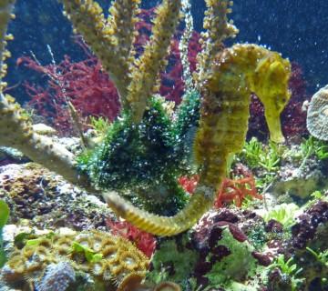 morski konjiček