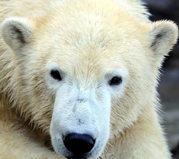 portret polarnega medveda