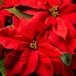 rdeči listi božične zvezde