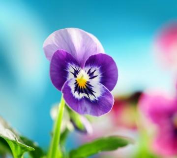 vijoličen cvet mačehe
