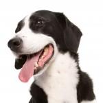 črno bel pes