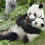 panda z mladičem