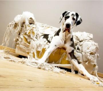pes na zgrizenem in strganem fotelju