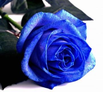 moder cvet vrtnice