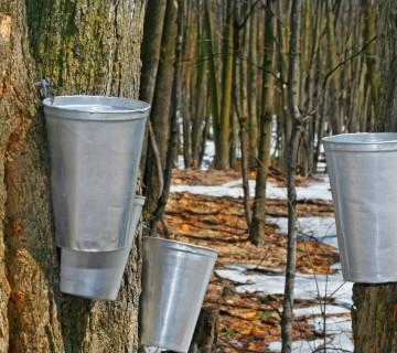 pridobivanje javorjevega sirupa iz dreves