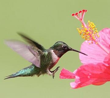kolibri ob hibiskusovem cvetu