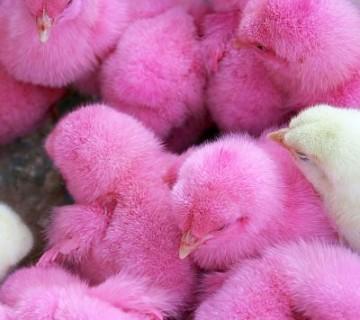 rožnato obarvani piščančki