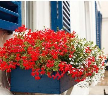 rdeče in bele geranije v modrem koritu