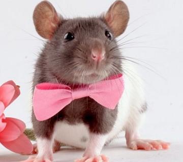 podgana z rožnato pentljico