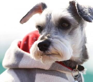 pes v puloverju s kapuco