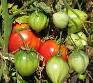 zoreči paradižniki na rastlini