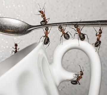mravlje na skodelici